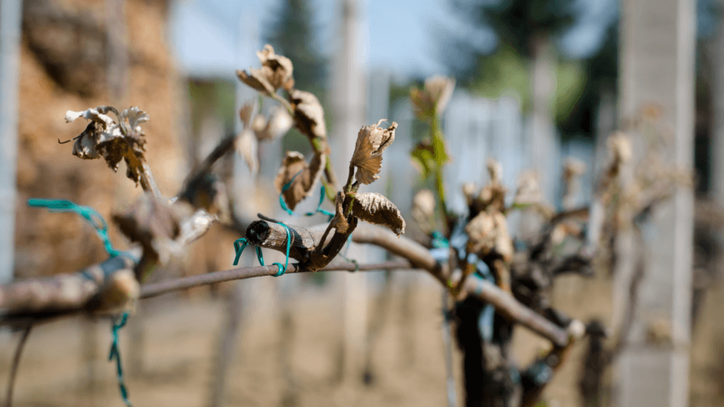 Texas Vineyards Face Difficulty Recovering After Winter Storm Uri